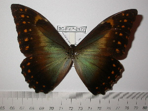 (Morpho hercules diadema - BC-FMP-2172)  @11 [ ] Copyright (2011) Frank Meister Research Collection of Frank Meister