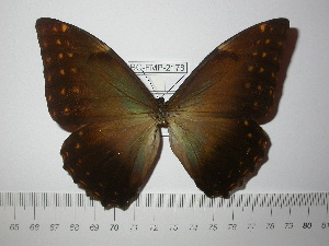 (Morpho telemachus - BC-FMP-2178)  @14 [ ] Copyright (2011) Frank Meister Research Collection of Frank Meister