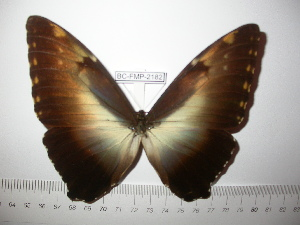 (Morpho hecuba werneri - BC-FMP-2182)  @13 [ ] Copyright (2011) Frank Meister Research Collection of Frank Meister