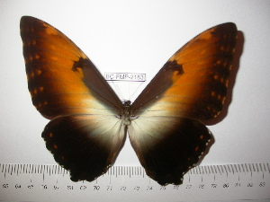 (Morpho hecuba polyidos - BC-FMP-2183)  @13 [ ] Copyright (2011) Frank Meister Research Collection of Frank Meister
