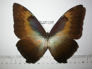 (Morpho cisseis jeannoti - BC-FMP-2186)  @14 [ ] Copyright (2011) Frank Meister Research Collection of Frank Meister