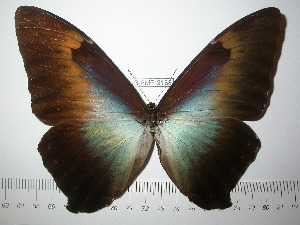 (Morpho cisseis gahua - BC-FMP-2188)  @14 [ ] Copyright (2011) Frank Meister Research Collection of Frank Meister