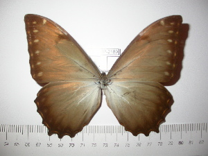(Morpho theseus theseus - BC-FMP-2189)  @13 [ ] Copyright (2011) Frank Meister Research Collection of Frank Meister