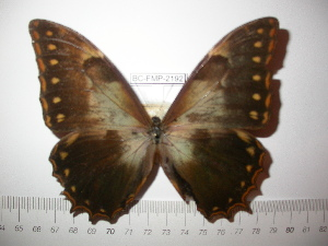 (Morpho theseus oaxacensis - BC-FMP-2192)  @12 [ ] Copyright (2011) Frank Meister Research Collection of Frank Meister