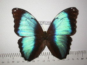 (Morpho deidamia grambergi - BC-FMP-2193)  @11 [ ] Copyright (2011) Frank Meister Research Collection of Frank Meister