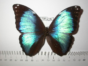 (Morpho deidamia deidamia - BC-FMP-2199)  @14 [ ] Copyright (2011) Frank Meister Research Collection of Frank Meister