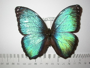 (Morpho achilles songo - BC-FMP-2200)  @14 [ ] Copyright (2011) Frank Meister Research Collection of Frank Meister