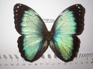 (Morpho achilles vitrea - BC-FMP-2202)  @11 [ ] Copyright (2011) Frank Meister Research Collection of Frank Meister