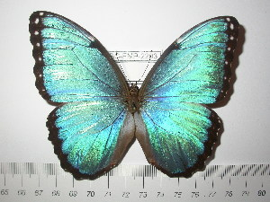 (Morpho achilles guaraunos - BC-FMP-2203)  @11 [ ] Copyright (2011) Frank Meister Research Collection of Frank Meister