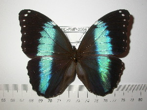 (Morpho achilles achilles - BC-FMP-2204)  @14 [ ] Copyright (2011) Frank Meister Research Collection of Frank Meister