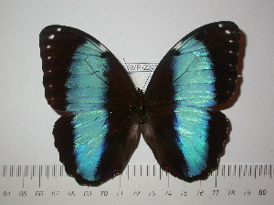 (Morpho helenor lacommei - BC-FMP-2205)  @11 [ ] Copyright (2011) Frank Meister Research Collection of Frank Meister