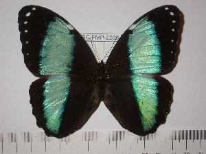 (Morpho helenor lacommei - BC-FMP-2206)  @11 [ ] Copyright (2011) Frank Meister Research Collection of Frank Meister