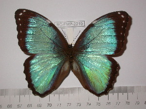 (Morpho leontius - BC-FMP-2210)  @11 [ ] Copyright (2011) Frank Meister Research Collection of Frank Meister