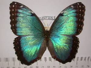 (Morpho helenor telamon - BC-FMP-2212)  @14 [ ] Copyright (2011) Frank Meister Research Collection of Frank Meister