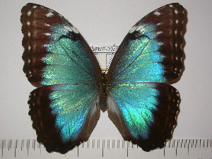 (Morpho helenor corydon - BC-FMP-2213)  @14 [ ] Copyright (2011) Frank Meister Research Collection of Frank Meister