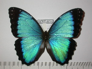 (Morpho helenor rugitaeniatus - BC-FMP-2214)  @14 [ ] Copyright (2011) Frank Meister Research Collection of Frank Meister