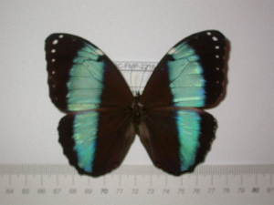 (Morpho helenor papirius - BC-FMP-2216)  @11 [ ] Copyright (2011) Frank Meister Research Collection of Frank Meister