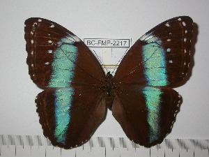 (Morpho helenor helenor - BC-FMP-2217)  @11 [ ] Copyright (2011) Frank Meister Research Collection of Frank Meister