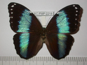 (Morpho helenor helenor - BC-FMP-2218)  @11 [ ] Copyright (2011) Frank Meister Research Collection of Frank Meister