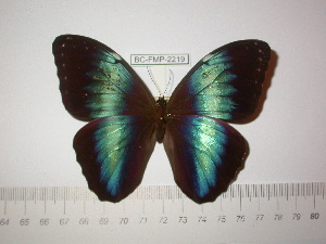 (Morpho helenor tepuina - BC-FMP-2219)  @11 [ ] Copyright (2011) Frank Meister Research Collection of Frank Meister