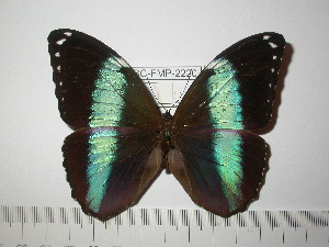 (Morpho helenor uberabensis - BC-FMP-2220)  @11 [ ] Copyright (2011) Frank Meister Research Collection of Frank Meister