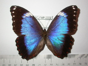 (Morpho helenor violaceus - BC-FMP-2223)  @13 [ ] Copyright (2011) Frank Meister Research Collection of Frank Meister