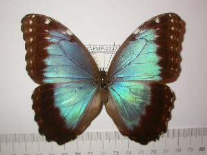 (Morpho helenor motezuma - BC-FMP-2227)  @14 [ ] Copyright (2011) Frank Meister Research Collection of Frank Meister