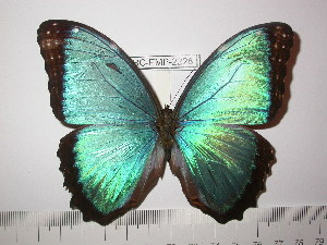 (Morpho granadensis - BC-FMP-2228)  @14 [ ] Copyright (2011) Frank Meister Research Collection of Frank Meister