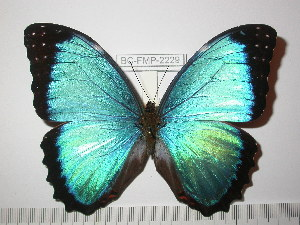 (Morpho granadensis polybaptus - BC-FMP-2229)  @14 [ ] Copyright (2011) Frank Meister Research Collection of Frank Meister