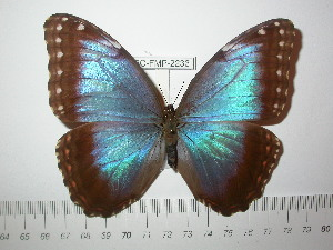 (Morpho helenor carillensis - BC-FMP-2233)  @14 [ ] Copyright (2011) Frank Meister Research Collection of Frank Meister