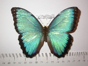 (Morpho helenor guanacastensis - BC-FMP-2234)  @14 [ ] Copyright (2011) Frank Meister Research Collection of Frank Meister