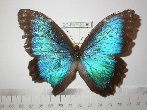 (Morpho helenor guerrerensis - BC-FMP-2236)  @13 [ ] Copyright (2011) Frank Meister Research Collection of Frank Meister