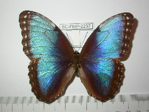 (Morpho helenor marinitia - BC-FMP-2237)  @12 [ ] Copyright (2011) Frank Meister Research Collection of Frank Meister