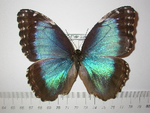 (Morpho helenor limpida - BC-FMP-2241)  @14 [ ] Copyright (2011) Frank Meister Research Collection of Frank Meister