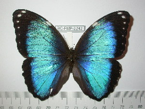 (Morpho helenor coelestis - BC-FMP-2242)  @11 [ ] Copyright (2011) Frank Meister Research Collection of Frank Meister