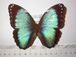 (Morpho helenor coelestis - BC-FMP-2247)  @11 [ ] Copyright (2011) Frank Meister Research Collection of Frank Meister
