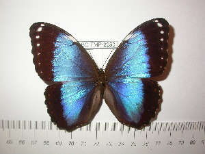(Morpho helenor achillides - BC-FMP-2250)  @13 [ ] Copyright (2011) Frank Meister Research Collection of Frank Meister