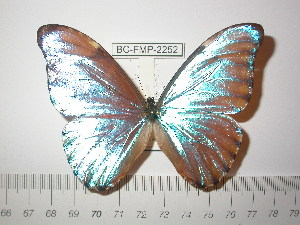 (Morpho aurora aurora - BC-FMP-2252)  @13 [ ] Copyright (2011) Frank Meister Research Collection of Frank Meister