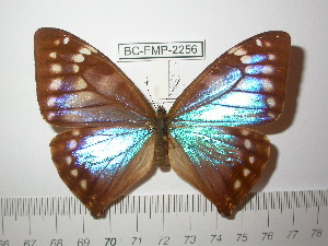 (Morpho aega - BC-FMP-2256)  @13 [ ] Copyright (2011) Frank Meister Research Collection of Frank Meister