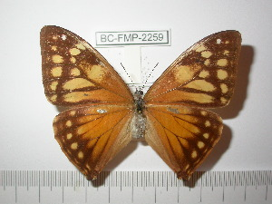 (Morpho aega - BC-FMP-2259)  @13 [ ] Copyright (2011) Frank Meister Research Collection of Frank Meister