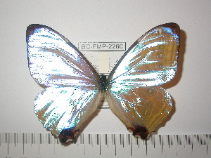 (Morpho sulkowskyi eros - BC-FMP-2260)  @12 [ ] Copyright (2011) Frank Meister Research Collection of Frank Meister