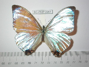 (Morpho sulkowskyi sulkowskyi - BC-FMP-2261)  @13 [ ] Copyright (2011) Frank Meister Research Collection of Frank Meister