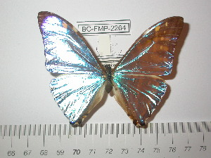 (Morpho zephyritis zephyritis - BC-FMP-2264)  @12 [ ] Copyright (2011) Frank Meister Research Collection of Frank Meister