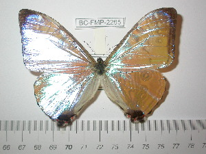 (Morpho sulkowskyi descimokoenigi - BC-FMP-2265)  @12 [ ] Copyright (2011) Frank Meister Research Collection of Frank Meister