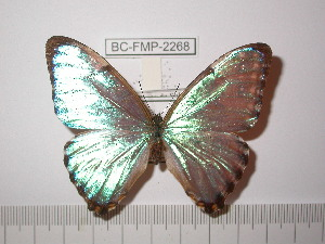 (Morpho portis thamyris - BC-FMP-2268)  @13 [ ] Copyright (2011) Frank Meister Research Collection of Frank Meister