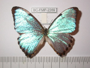 (Morpho portis kaysi - BC-FMP-2269)  @13 [ ] Copyright (2011) Frank Meister Research Collection of Frank Meister