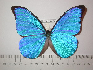 (Morpho anaxibia - BC-FMP-2270)  @11 [ ] Copyright (2011) Frank Meister Research Collection of Frank Meister