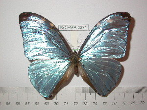 (Morpho eugenia uraneis - BC-FMP-2271)  @14 [ ] Copyright (2011) Frank Meister Research Collection of Frank Meister