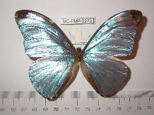 (Morpho eugenia uraneis - BC-FMP-2272)  @14 [ ] Copyright (2011) Frank Meister Research Collection of Frank Meister