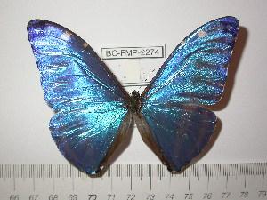 (Morpho marcus major - BC-FMP-2274)  @13 [ ] Copyright (2011) Frank Meister Research Collection of Frank Meister